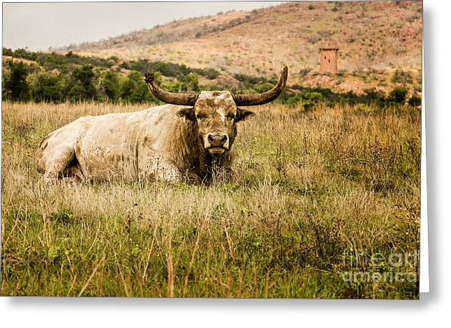 Bull Longhorn Greeting Card by Tamyra Ayles