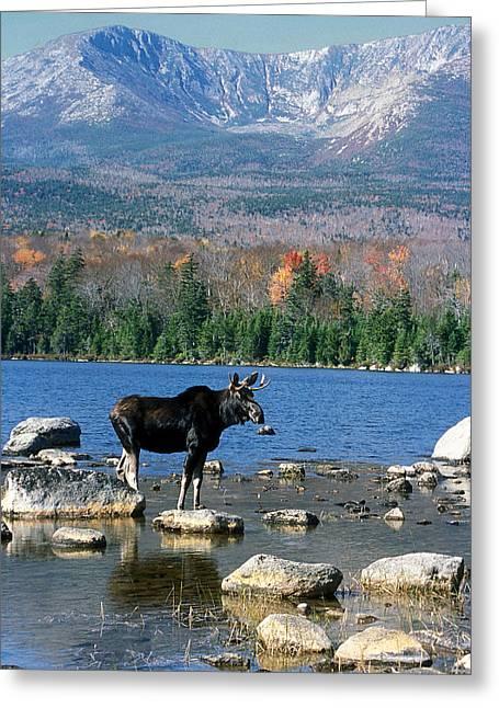Bull Moose And Mount Katahdin Greeting Card by John Burk