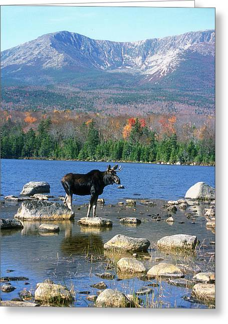 Bull Moose Below Mount Katahdin Greeting Card by John Burk