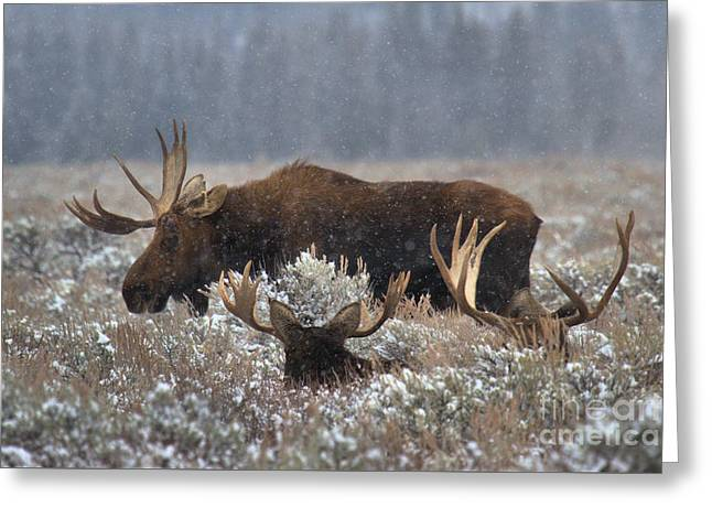Greeting Card featuring the photograph Bull Moose In The Snowy Meadow by Adam Jewell