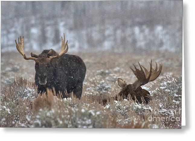 Bull Moose Winter Wandering Greeting Card by Adam Jewell