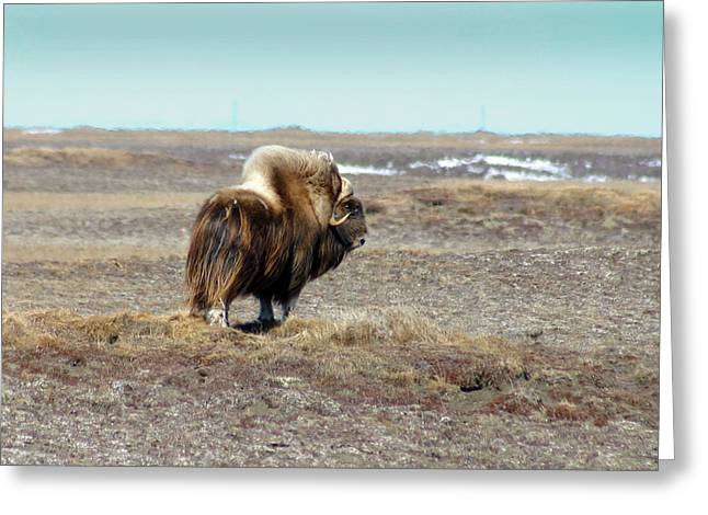 Bull Musk Ox Greeting Card by Anthony Jones