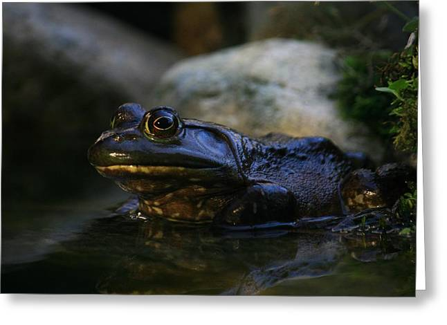 Bullfrog 1 Greeting Card