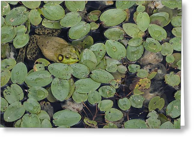 Bullfrog No. 1 - Mystic Connecticut Greeting Card by Henry Krauzyk