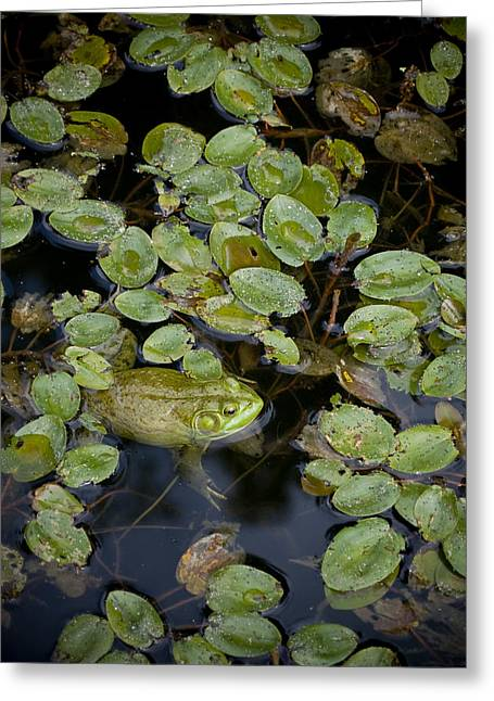 Bullfrog No. 2 - Mystic Connecticut Greeting Card by Henry Krauzyk