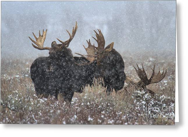 Bulls In The Snow Greeting Card by Adam Jewell
