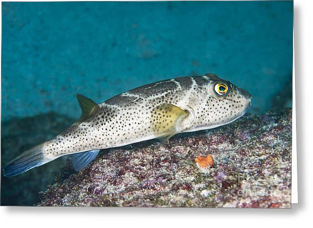 Bullseye Puffer - Galapagos Greeting Card by Dave Fleetham - Printscapes