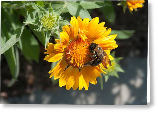 Bumble Bee Collecting Pollen On Sunflower Greeting Card