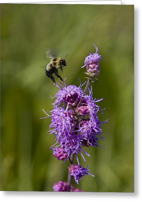 Bumble Bee Dance 8210 Greeting Card by Peter Skiba
