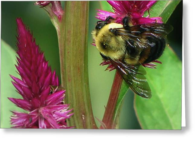 Bumble Bee  Greeting Card by Martin Morehead