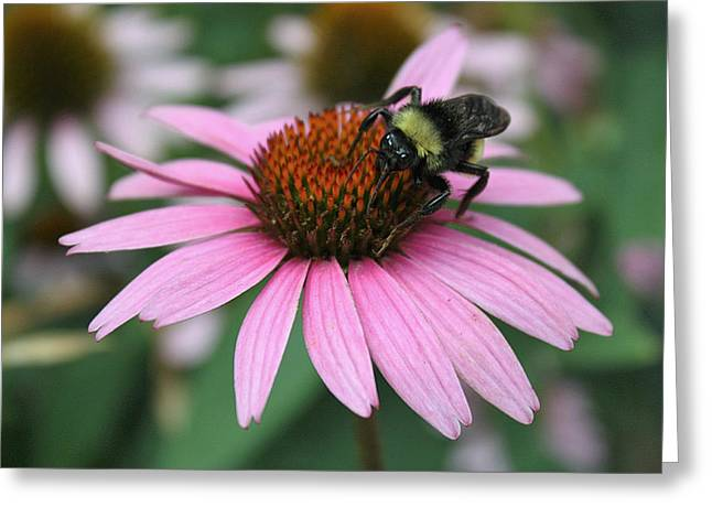 Bumble Bee On Pink Coneflower Greeting Card