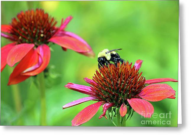 Bumble Bee Greeting Card by Steve Gass