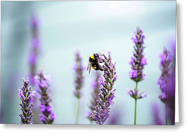 Bumblebee And Lavender Greeting Card by Nailia Schwarz