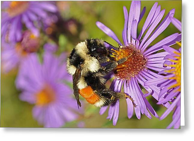 Bumblebee On Aster Greeting Card by Gerald Hiam