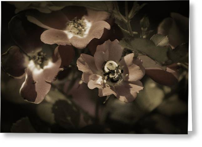 Bumblebee On Blush Country Rose In Sepia Tones Greeting Card