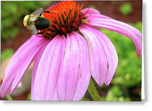 Bumblebee On Coneflower Greeting Card by Randy Rosenberger