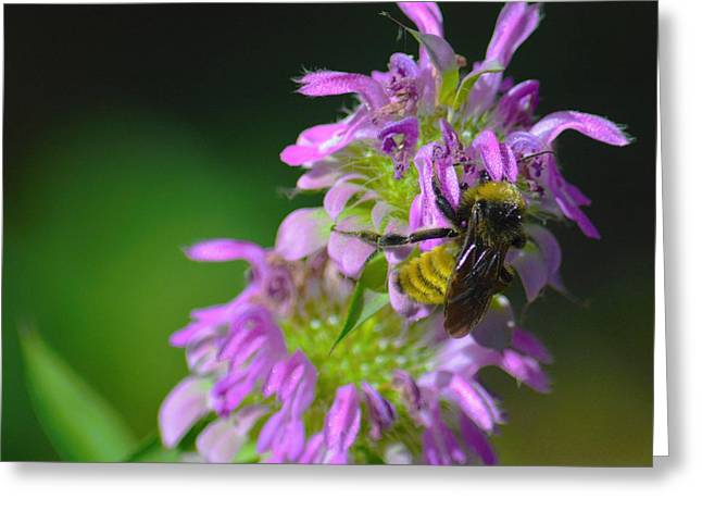 Bumblebee On Horsemint Greeting Card by Dennis Nelson