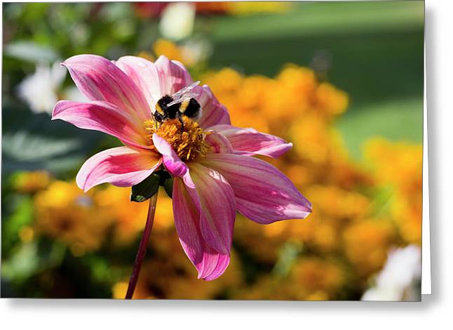 Bumblebee On Orange Greeting Card