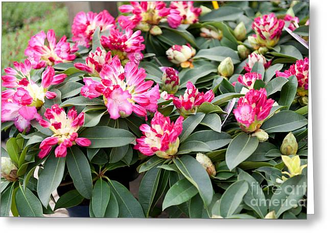 Bunch Of Little Pink Rhododendron Greeting Card