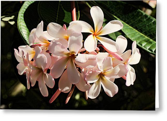 Bunch Of Plumeria Greeting Card