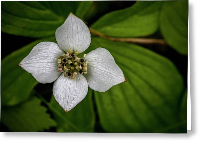Greeting Card featuring the photograph Bunchberry Dogwood On Gloomy Day by Darcy Michaelchuk