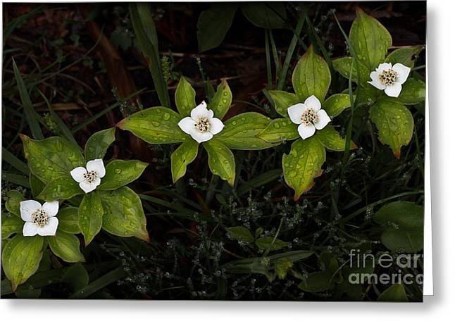 Bunchberry Flowers Greeting Card
