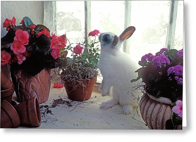 Bunny In Window Greeting Card by Garry Gay