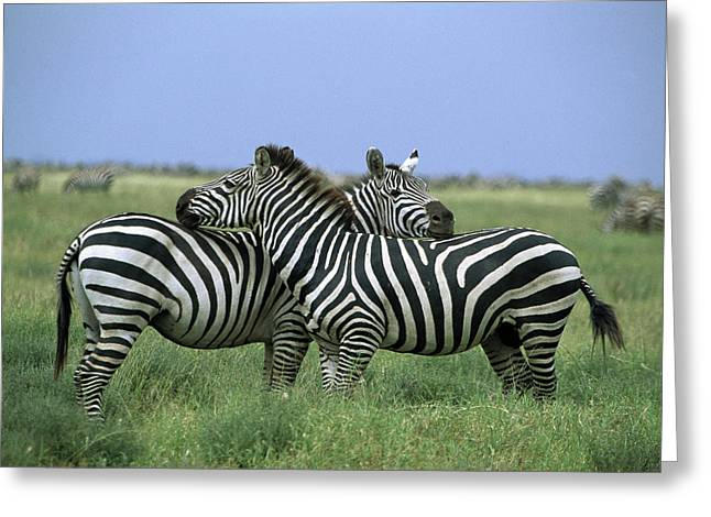 Quarter Horses Greeting Cards - Burchells Zebra Equus Burchellii Pair Greeting Card by Konrad Wothe