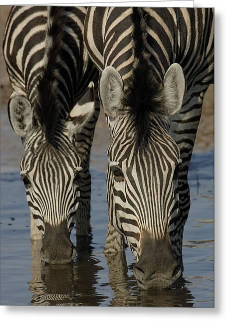 Equidae Greeting Cards - Burchells Zebra Equus Burchellii Pair Greeting Card by Pete Oxford