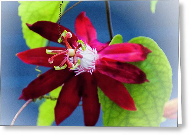 Burgandy Passion Flower Greeting Card by Phyllis Taylor