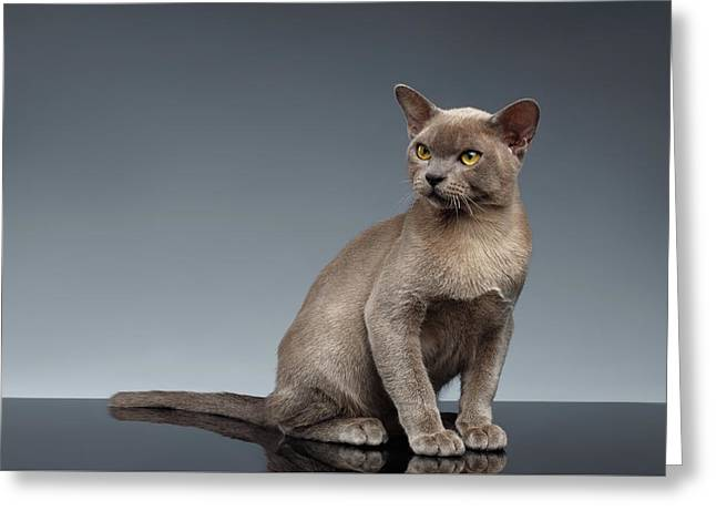 Burma Cat Sits And Loocking Up On Gray Greeting Card by Sergey Taran