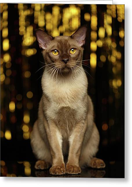 Burmese Cat Sits On New Year Background Greeting Card by Sergey Taran
