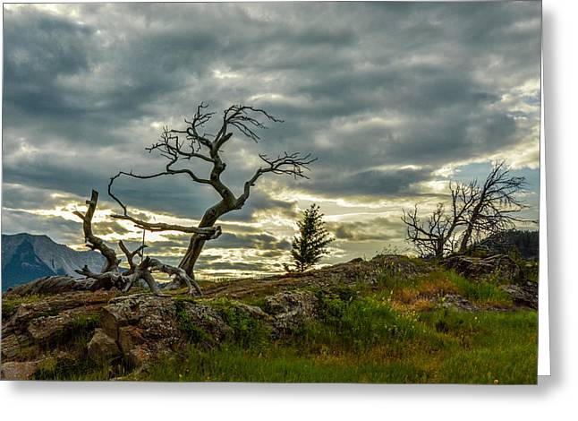 Burmis Tree And Wind Swept Pines Greeting Card