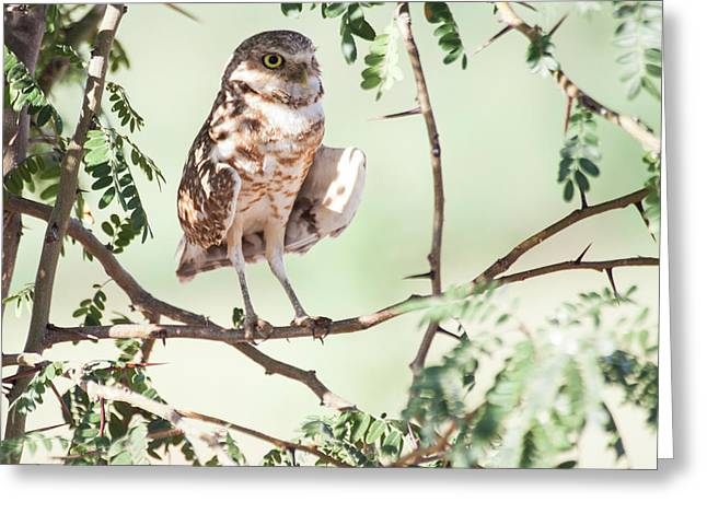 Burrowing Owl In A Tree Greeting Card