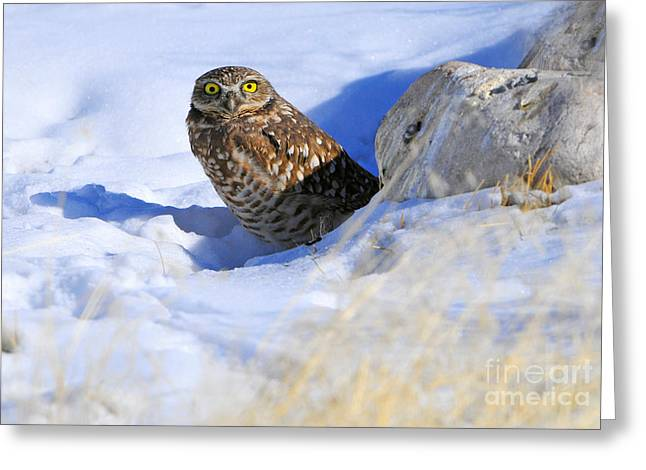 Burrowing Owl In Winter Greeting Card by Dennis Hammer