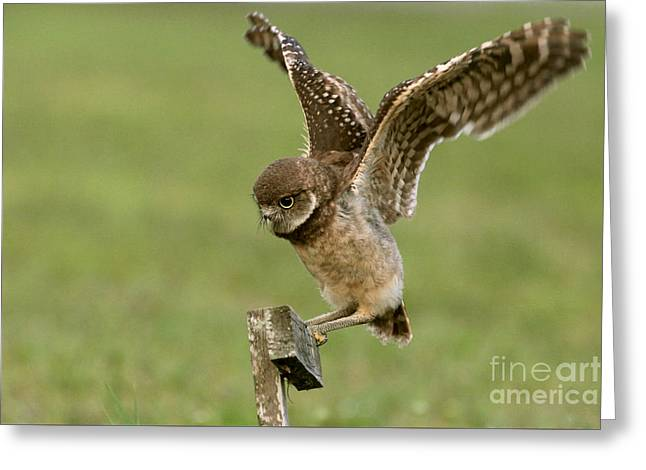 Burrowing Owl - Learning To Fly Greeting Card by Meg Rousher