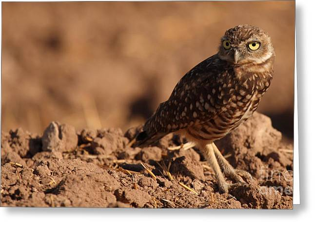 Greeting Card featuring the photograph Burrowing Owl Looking Back Over Shoulder by Max Allen