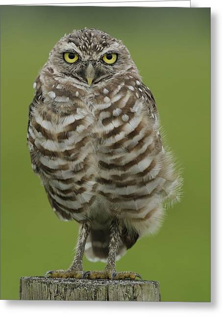 Burrowing Owl Lookout Greeting Card