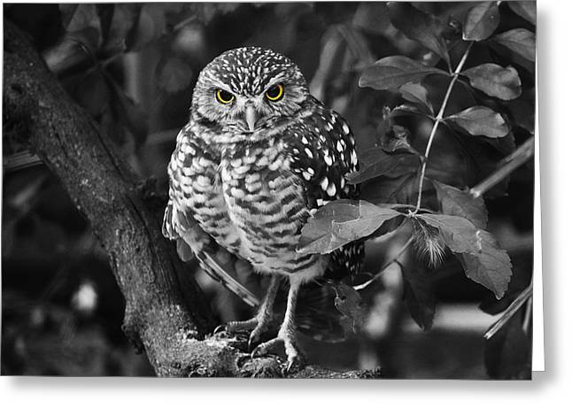 Burrowing Owl  Selective Color Eyes Greeting Card