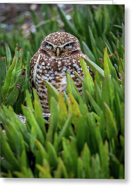 Burrowing Owl Greeting Card