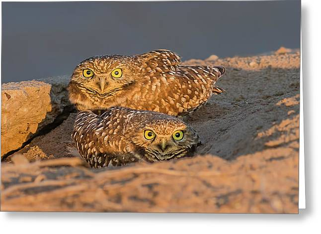 Burrowing Owls At Sunset In The Desert Greeting Card by Morris Finkelstein
