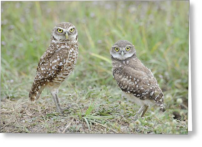 Burrowing Owls Nesting Greeting Card by Keith Lovejoy
