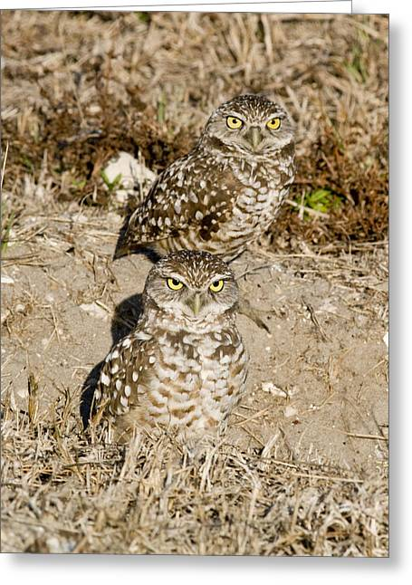 Greeting Card featuring the photograph Burrowing Owls by Phil Stone