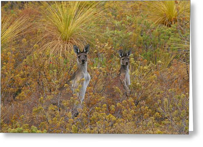 Bush Kangaroos Greeting Card