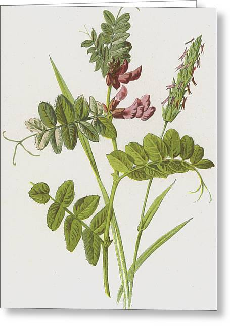 Bush Vetch And Sweet Scented Vernal Grass Greeting Card by Frederick Edward Hulme