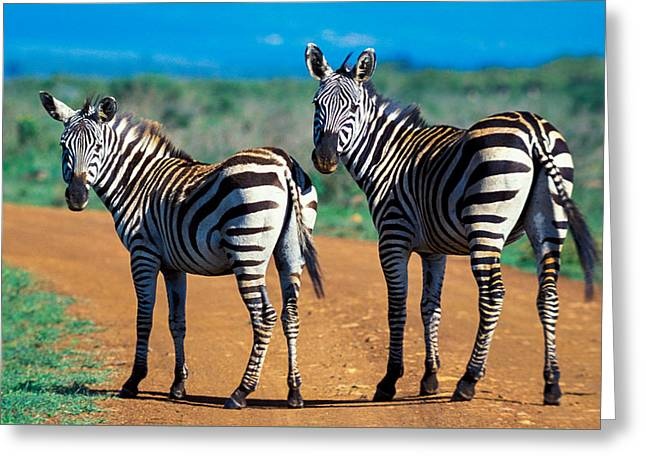 Bushnell's Zebras Greeting Card by Tina Manley