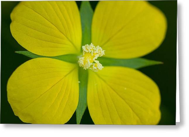 Bushy Seedbox - Ludwigia Alternifolia Greeting Card