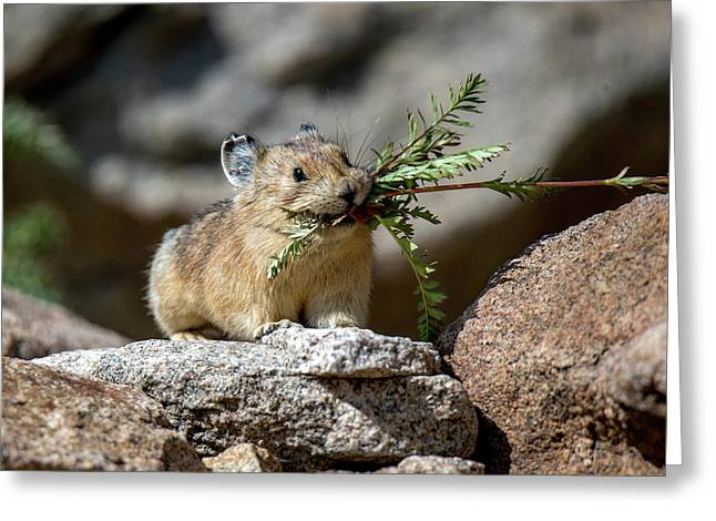 Busy As A Pika Greeting Card