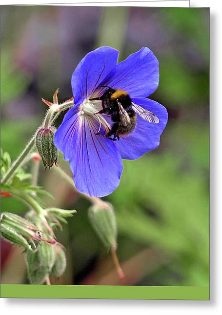 Busy Bee On A Blue Geranium Greeting Card by Gill Billington