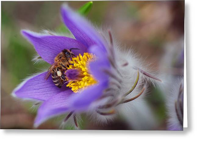 Busy Busy Bee On Pasqueflower Greeting Card